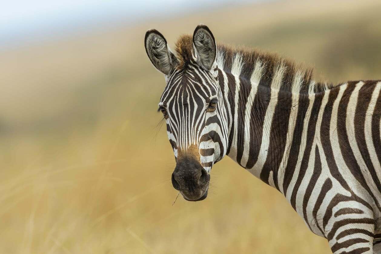 about-zebra-hermis-spicy-salt-african-flavor