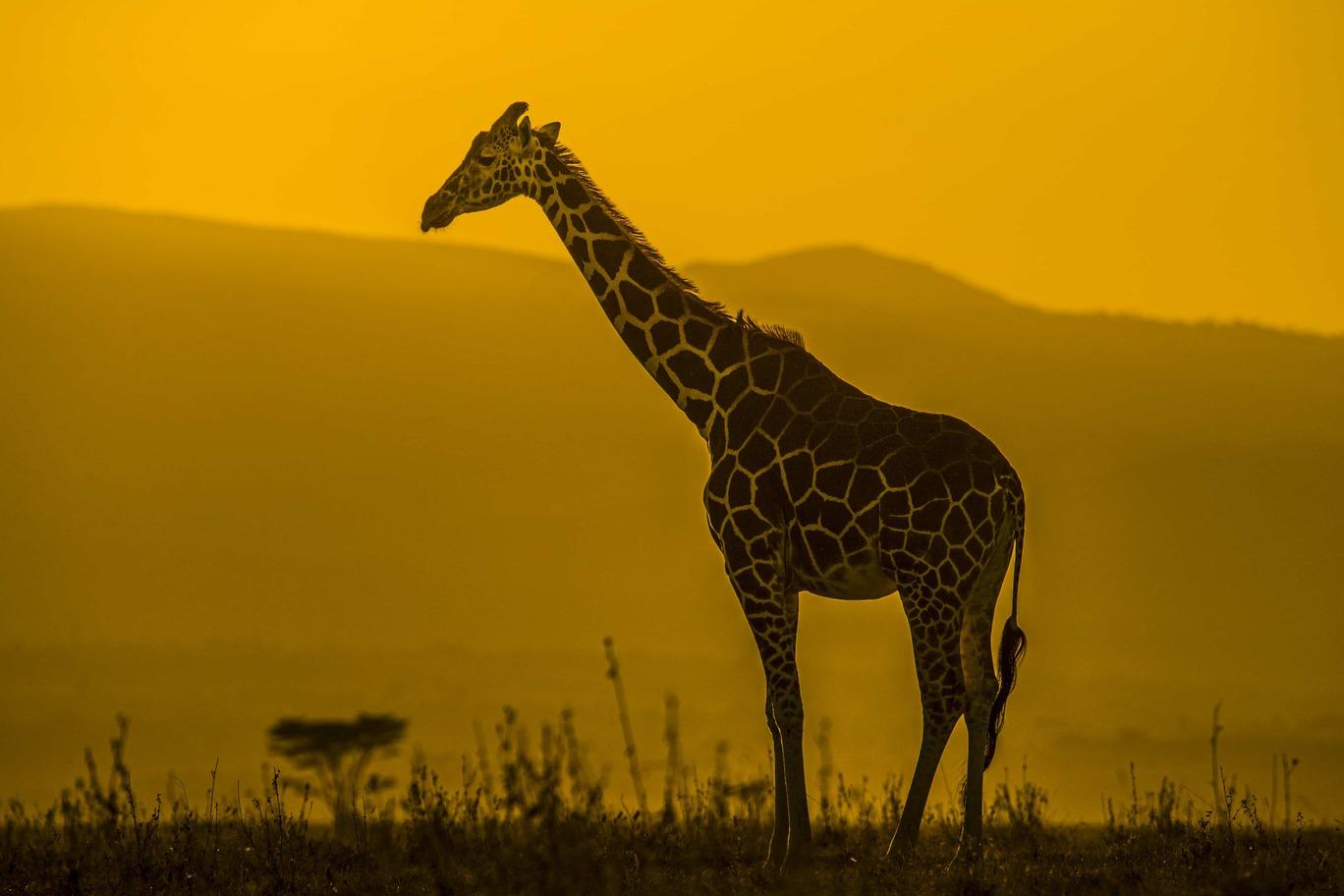 about-giraffe
