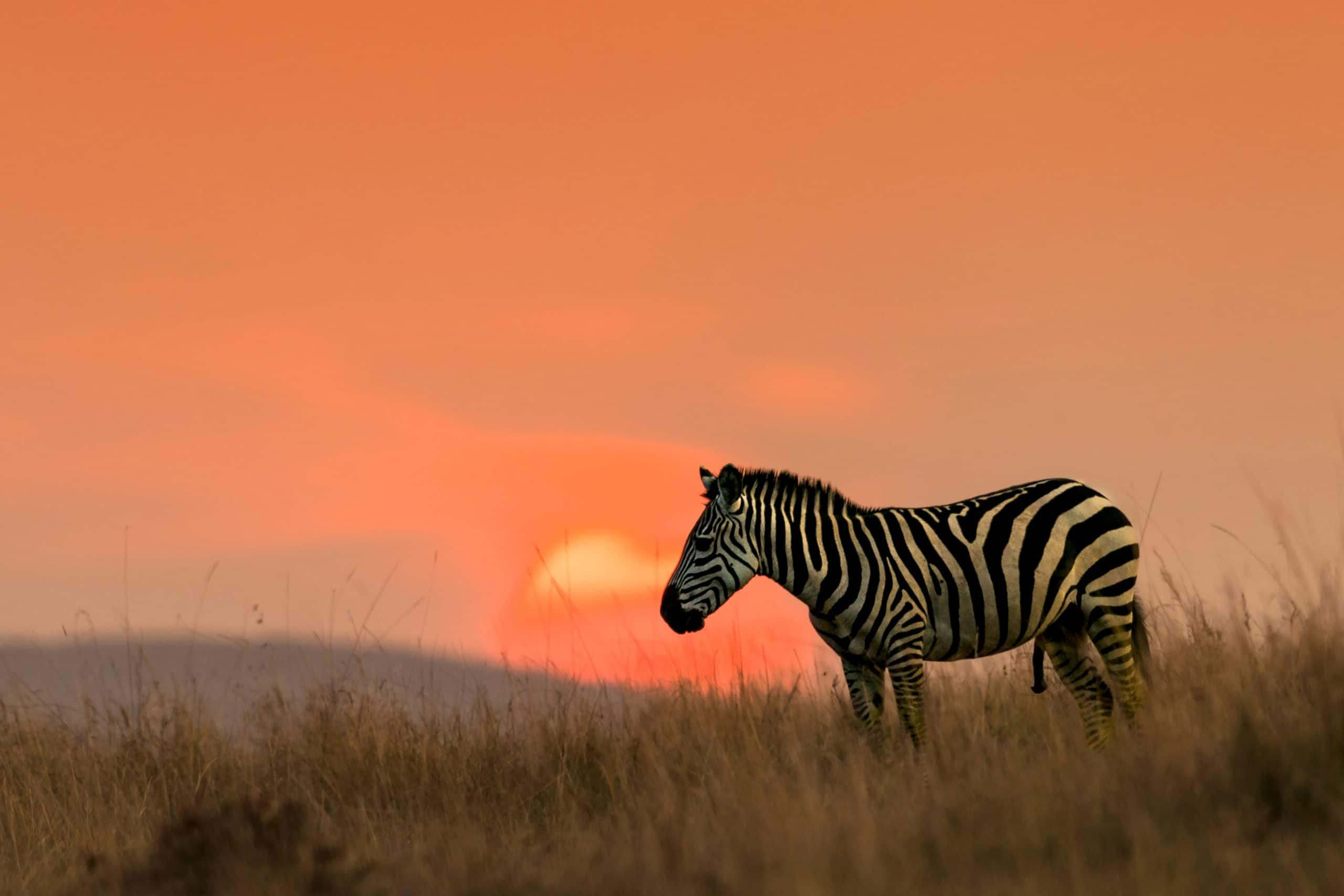 about-zebra-two