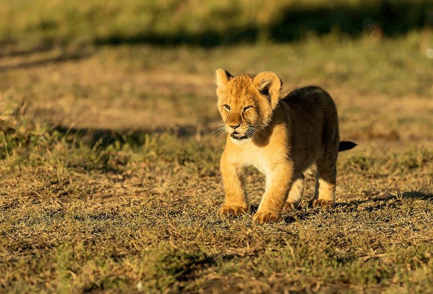 plight-african-wildlife-lion-cub