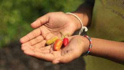 why-humans-love-hot-sauce-chillies-in-hand