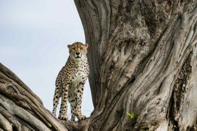 Cheetah Wildlife Plight