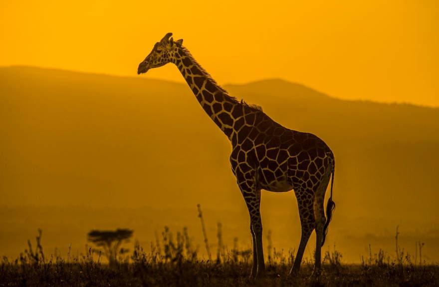 Giraffe-Sunset-@tomsvensson