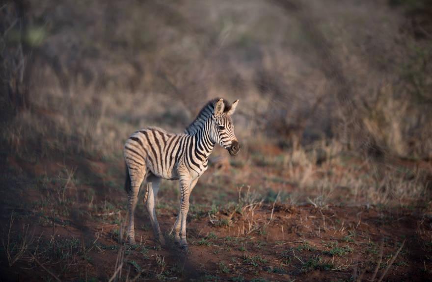 save-the-zebra-baby-zebra