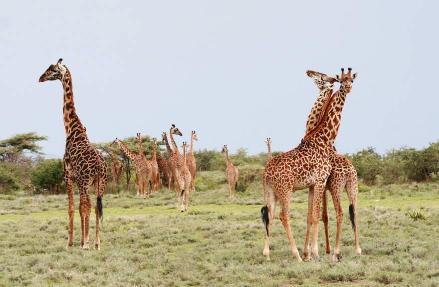 Best-Safari-Serengeti-Giraffes