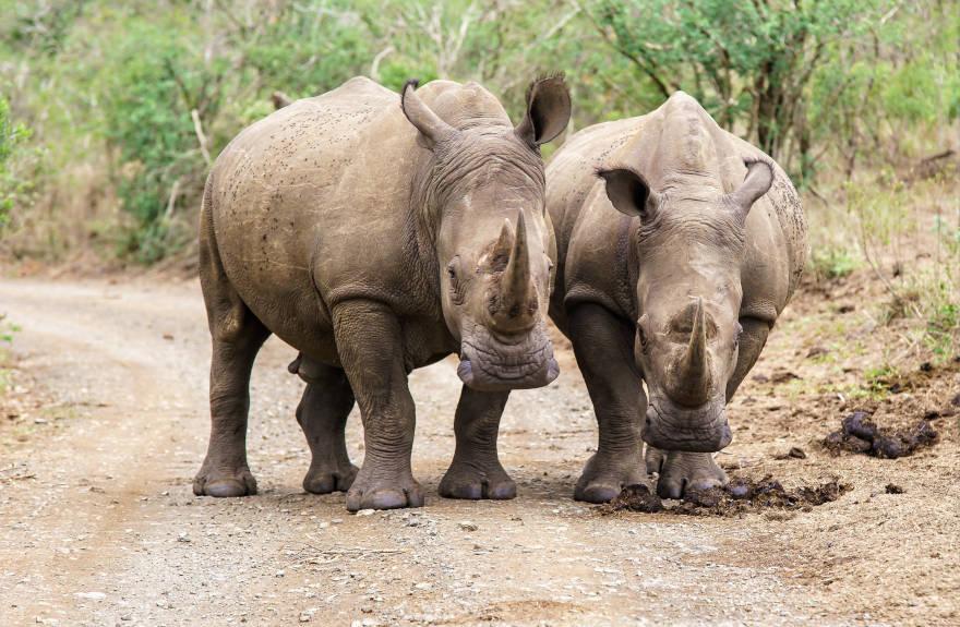 save-the-rhino-two-rhinos